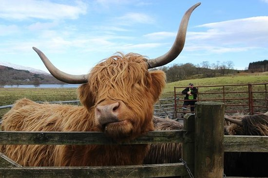 The Hairy Coo - Free Scottish Highlands Tour : Real Baby Hamich