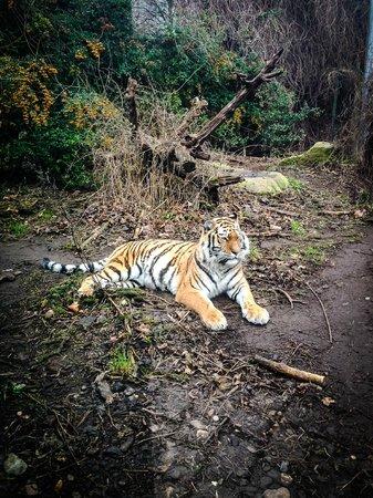 Tiergarten Schoenbrunn - Zoo Vienna : Красавец тигр!