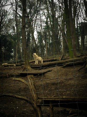 Tiergarten Schoenbrunn - Zoo Vienna : Полярные волки