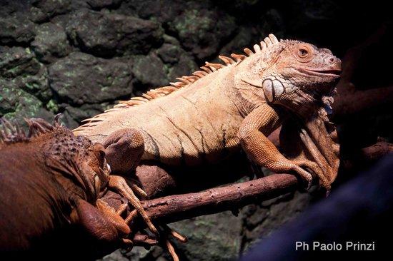 """Krakow Zoo (Ogrod Zoologiczny) : A iguana of """"reptiles and amphibians"""" place"""