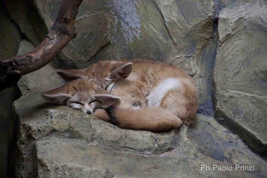 Krakow Zoo (Ogrod Zoologiczny) : 2 nice Fennec that are sleeping