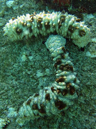The Dive Academy : Sea Cucumbers!