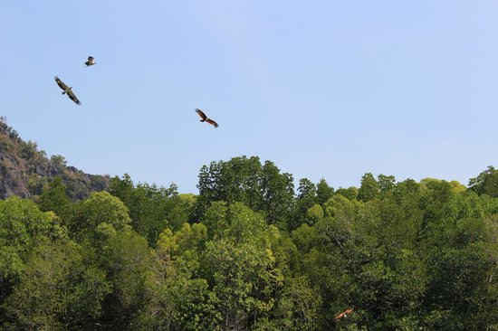 Kilim Karst Geoforest Park: орел рыжий