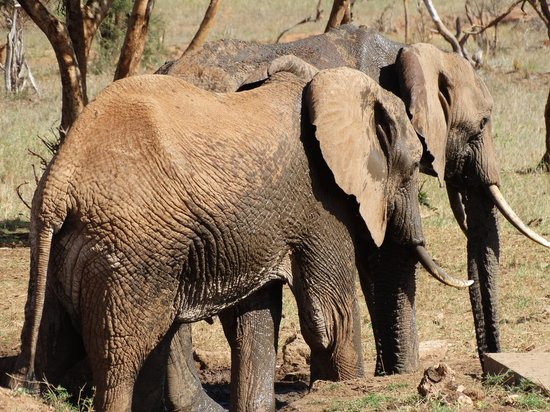 Sarova Taita Hills Game Lodge: elephants at watering hole (around lunchtime)