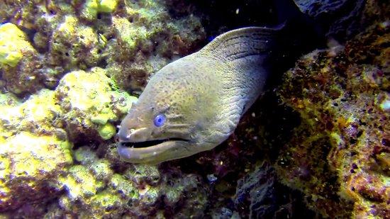Ocean Geo Diving & Tours: Giant Moray eel