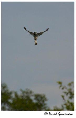 Austin Roberts Bird Sanctuary : IMG 3) Pied Kingfisher