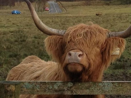 The Hairy Coo - Free Scottish Highlands Tour : the hairy cow