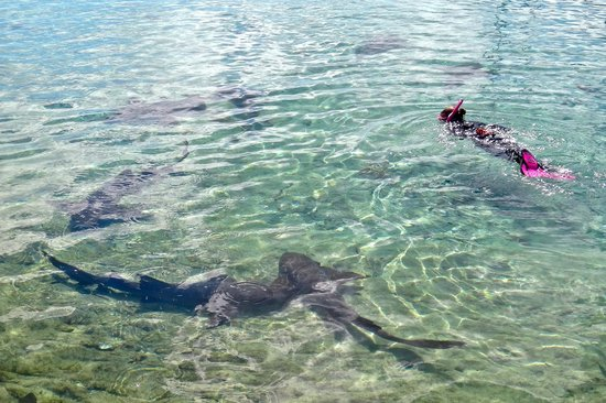 Staniel Cay Yacht Club: Swimming with the Nurse Sharks off the dock at SCYC.