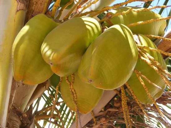 Clubhotel Riu Karamboa : coconuts in the hotel grounds
