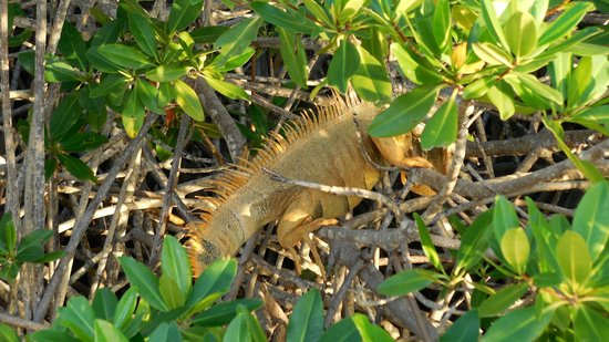 Six Senses Cayman Adventures : Iguana
