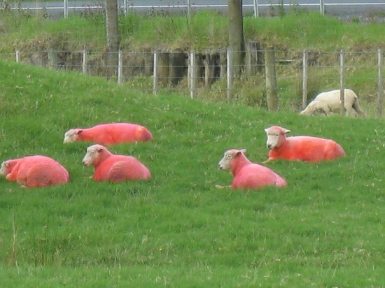 Sheepworld: Loved the pink sheep!