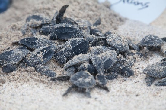 Hyatt Ziva Puerto Vallarta: Newborn turtles