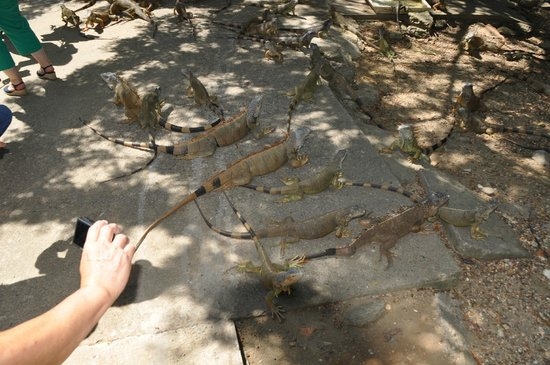 Arch's Iguana and Marine Park: Lots of Iguanas