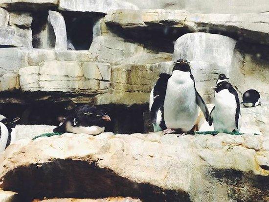 Shedd Aquarium: Penguins