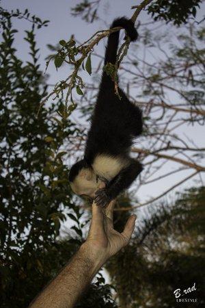Finca Las Nubes: Monkey playing
