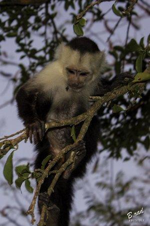 Finca Las Nubes : monkey by the pool