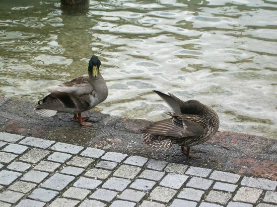 Königssee: уточки