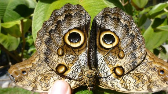 Owl butterfly - photo#22