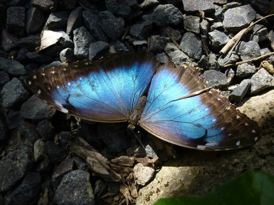 Butterfly Haven : Blue Morpho