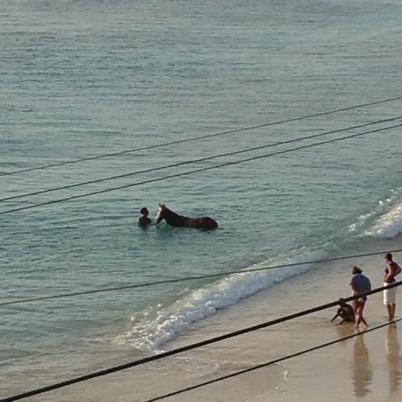 Beach View: Polo horse taking a dip at Paynes Bay