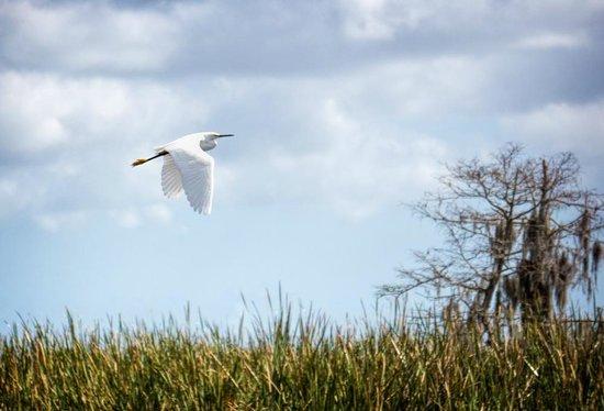 Florida Cracker Airboat Rides & Guide Service: Egret in Flight