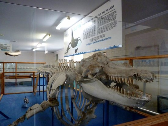 Killer Whale Museum: Old  Tom's skeleton