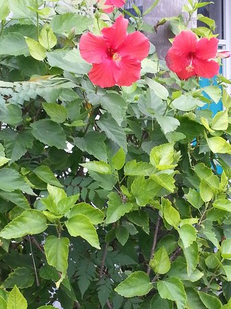 Days Inn & Suites Port Richey: Lovely live blooming Hibiscus by the pool ... Jan 2014