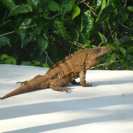 Sacbe Boutique Inn: visiting Iguana