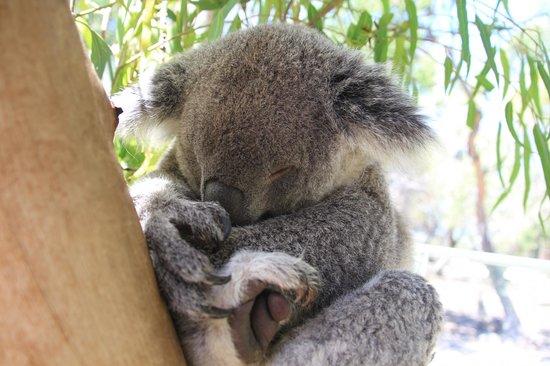 Australia Walkabout Wildlife Park: Sleepy Koala