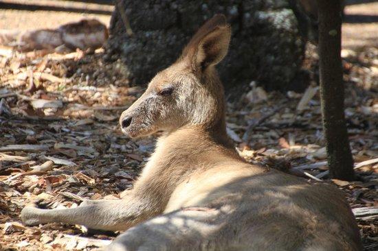 Australia Walkabout Wildlife Park: Sunbathing Kangaroo