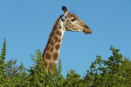 Shamwari Game Reserve Lodges : One of the many inhabitants!