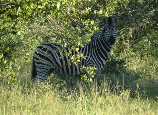 Africa on Foot Camp: En välmående Zebra