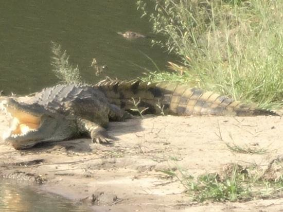 Africa on Foot Camp: Krokodil nära en elefant