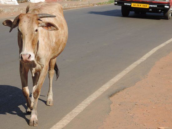 Highland Beach Resort: cow on main road candolin