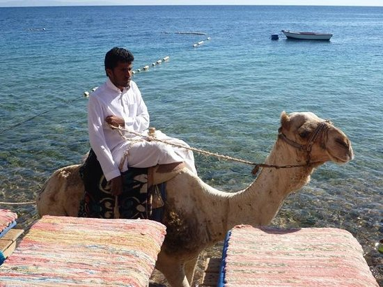 Red Sea Relax Resort: Camel in the water in front of the hotel - why not?