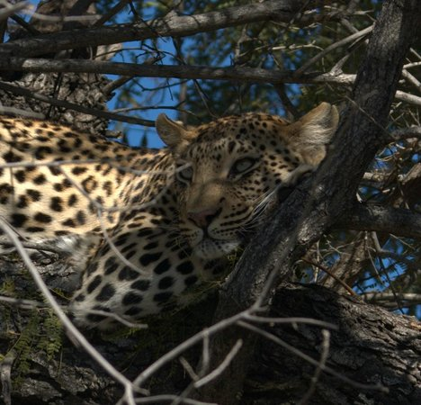 Tubu Tree Camp : leopard spotted on morning drive