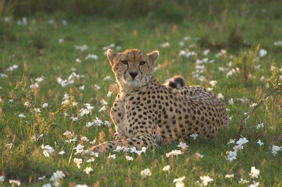 Cheetah Tented Camp: Leopardo