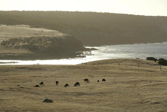 Waves and Wildlife Cottages: Känguruhs im Gegenlicht