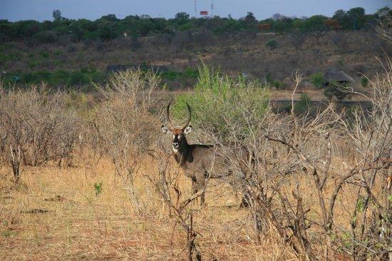 Sanctuary Chobe Chilwero: Uno de los animales que vereis por la zona