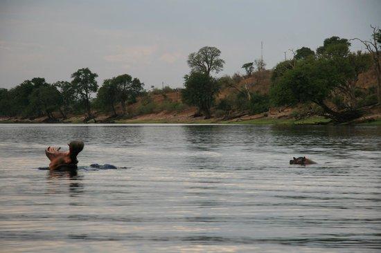 Sanctuary Chobe Chilwero: Hipopotamos, uno de los animales que vereis por la zona