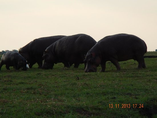 Sanctuary Chobe Chilwero: Manadas de hipopotamo que vereis en vuestro safari en barca