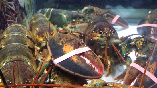 Fishbar Manhattan Beach Seafood Restaurant: The live Maine Lobster before it becomes a lovely dish.
