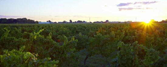 Magnotta Winery: Magnotta Merritt Road Vineyard