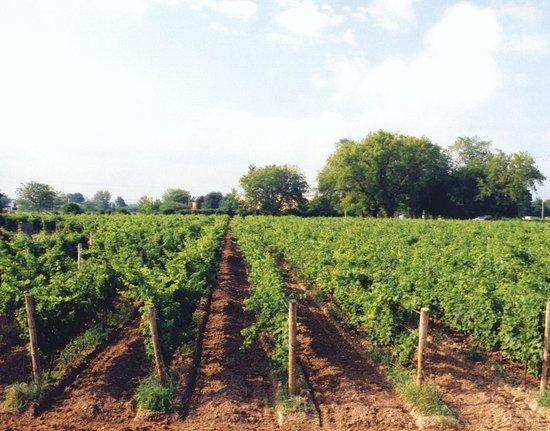Magnotta Winery: Magnotta Niagara Vineyard