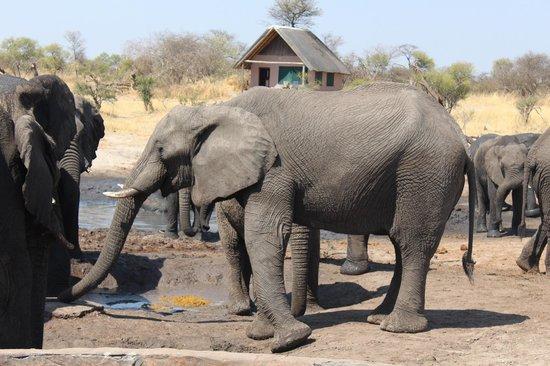 Elephant Sands Botswana: Onde os elefantes vem saciar a sede.