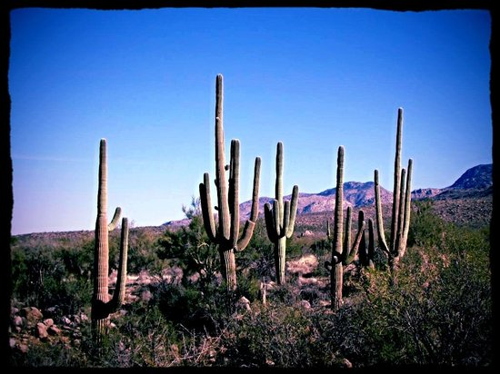 Loews Ventana Canyon Resort: Catus on a hike we took behind the hotel
