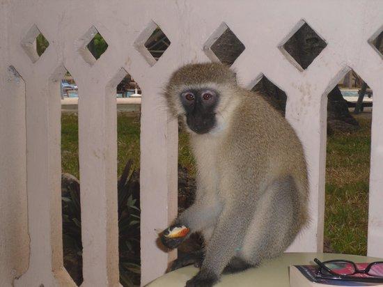 Amani Tiwi Beach Resort : Resort Monkey