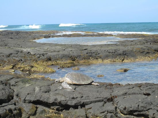 Four Seasons Resort Hualalai: Green Sea Turtles rest on the beach … must stay 20 feet away.