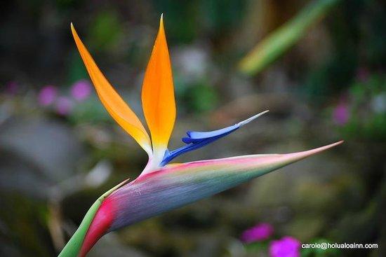Holualoa Inn: Tropical Flowers Everywhere