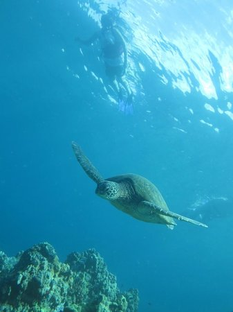 Maui Kayaks : giant sea turtle